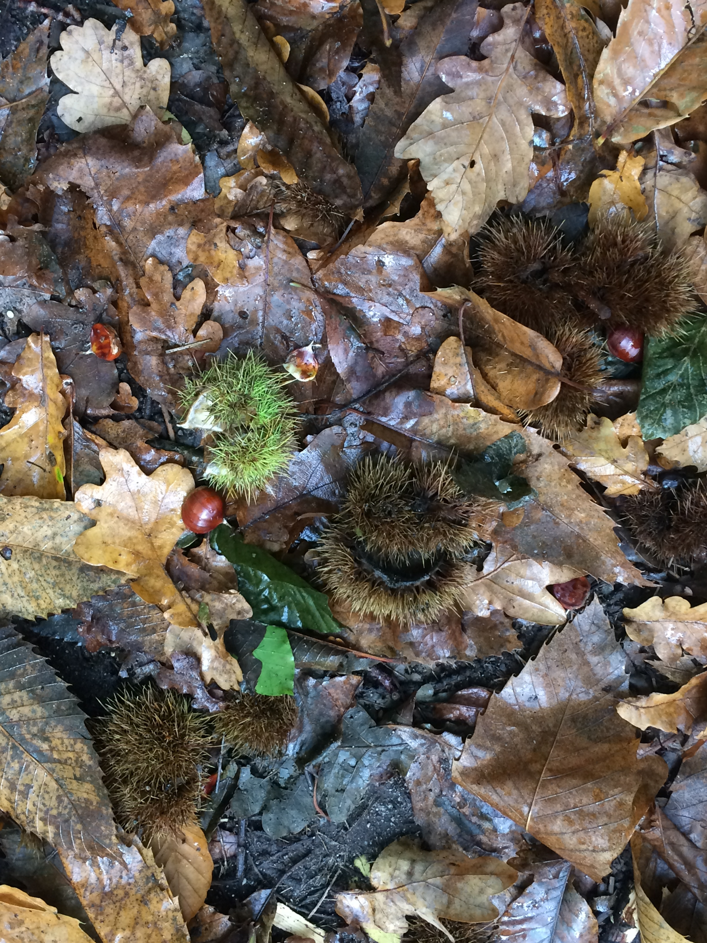 We scanned the ground for these,the chestnut is often found beside the prickly pod that housed it