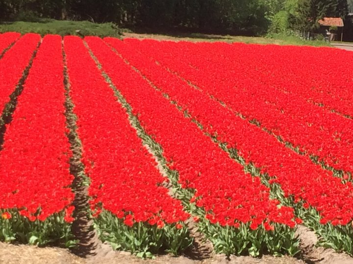 A sea of red spotted outside the Keukenhof.