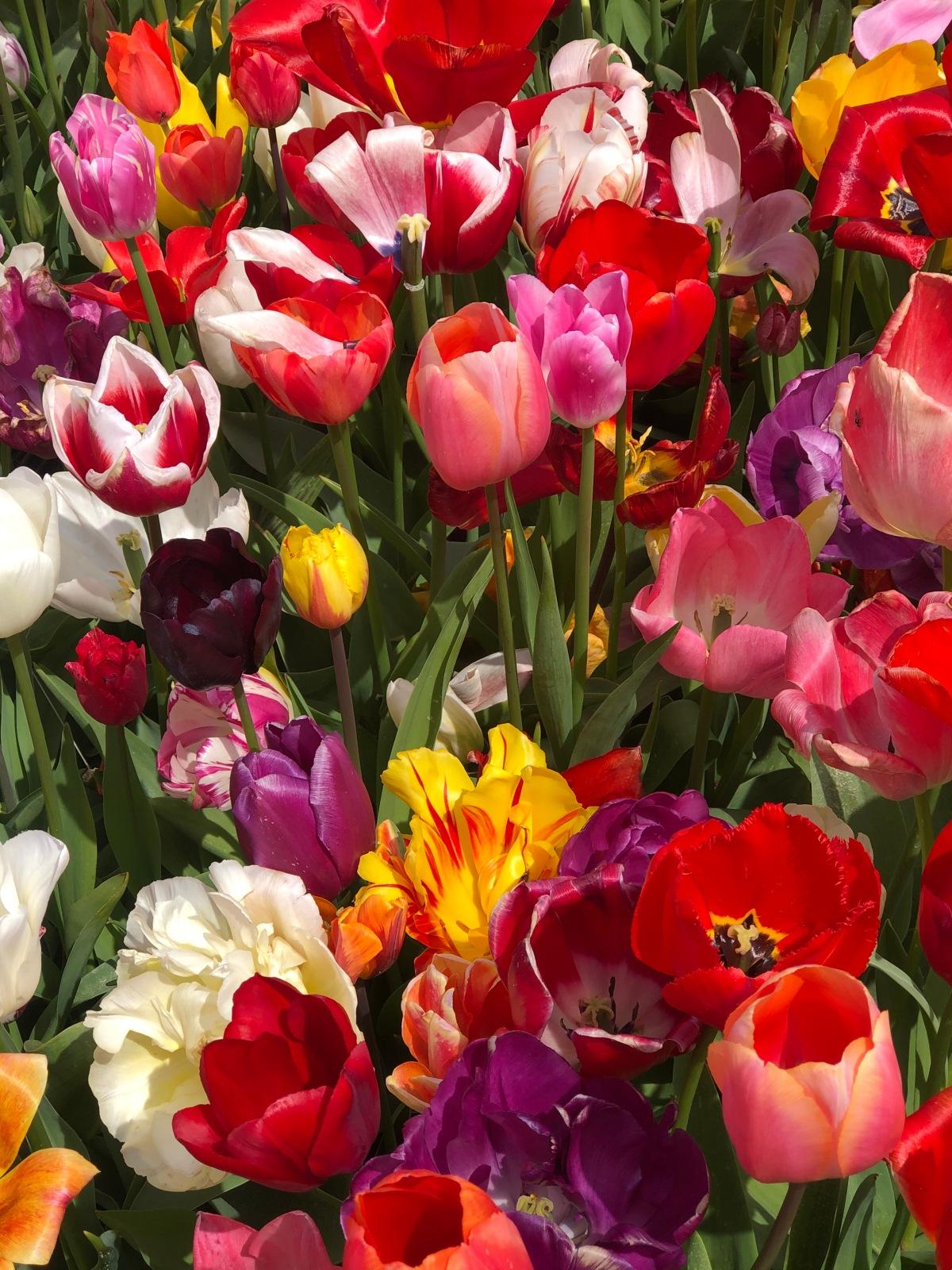 The Beautiful TulipBlog